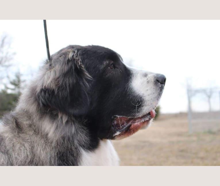 Photo of Elara, a Pyrenean Mastiff  in Chelyabinsk, Russia