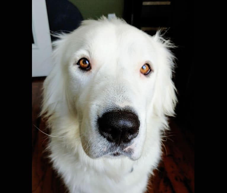 Photo of Bear, a Great Pyrenees, Labrador Retriever, and American Pit Bull Terrier mix in Lantana, Texas, USA