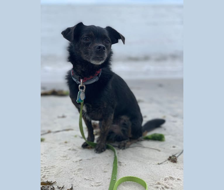 Photo of Derby, a Yorkshire Terrier, Pekingese, and Poodle (Small) mix in Essex, Connecticut, USA