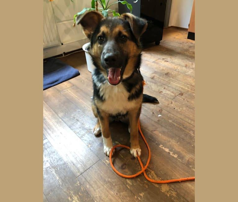 Photo of Anny, an Eastern European Village Dog and German Shepherd Dog mix in Bulgarien