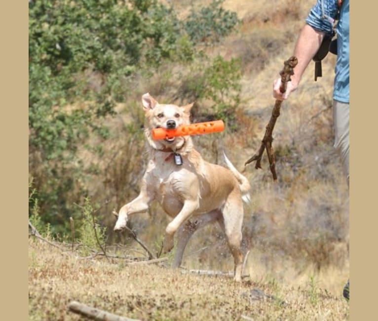 Photo of Hank, an Australian Kelpie, Australian Cattle Dog, and Border Collie mix in San Martin, California, USA