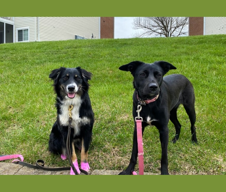 Photo of Nala, a Border Collie, American Pit Bull Terrier, Australian Shepherd, and Chow Chow mix in Maysville, Kentucky, USA