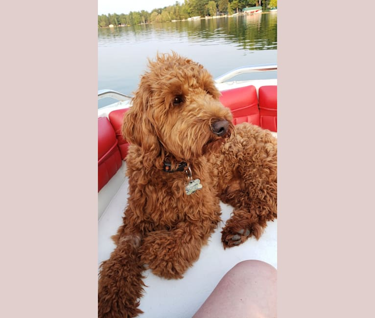 Photo of Finn, a Goldendoodle  in Milwaukee, Wisconsin, USA