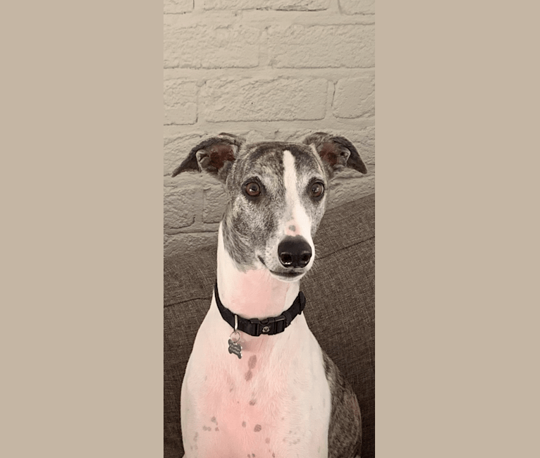 Photo of Theo, a Whippet, Greyhound, and Mixed mix in Weston, New South Wales, Australia