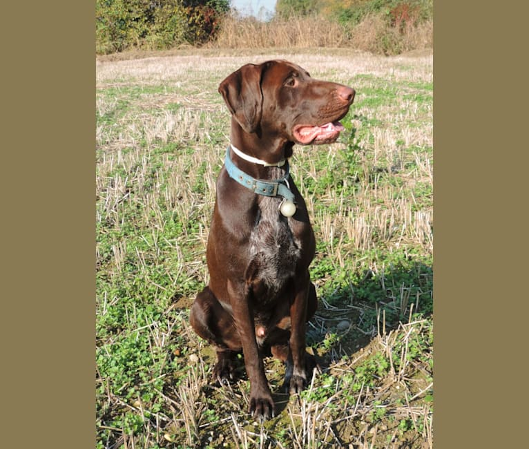 Photo of Ragù, a German Shorthaired Pointer and German Wirehaired Pointer mix in Vimodrone, Lombardia, Italia