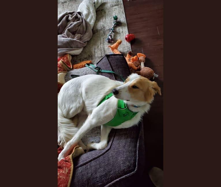 Photo of Asher, an Arabian Village Dog  in Kuwait