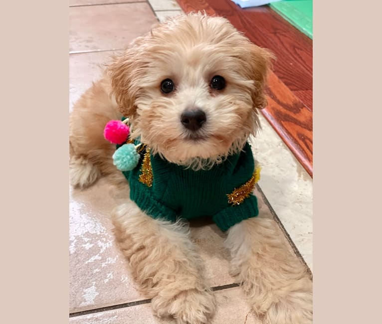 Photo of Oliver, a Poodle (Small), Bichon Frise, and Shih Tzu mix in Sudbury, ON, Canada