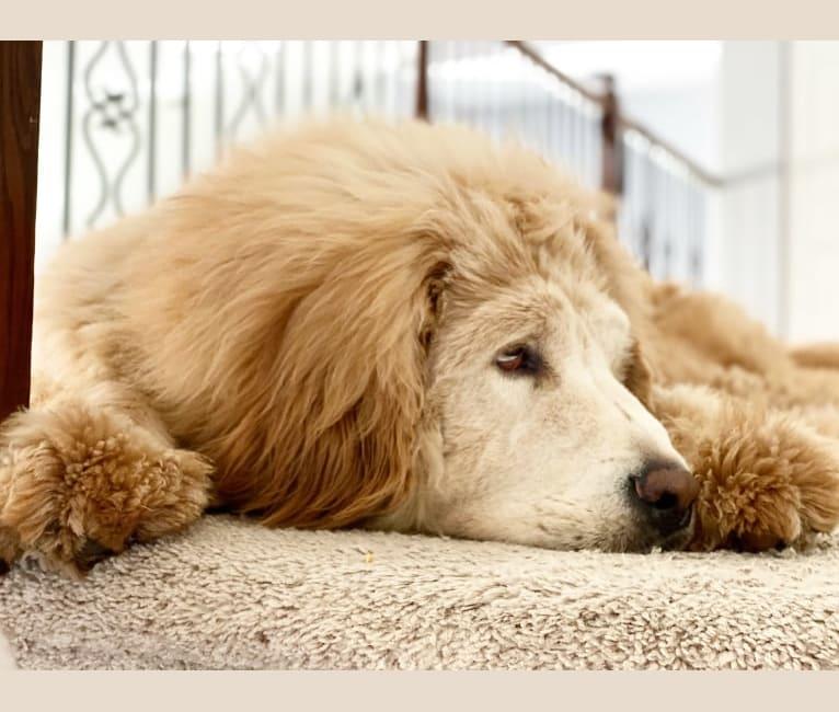 Photo of Nala, a Tibetan Mastiff  in Florida, USA