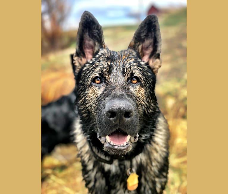 Photo of Booth vom Wahrsten, a German Shepherd Dog  in Illinois, USA
