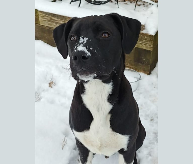 Photo of Neo, an American Pit Bull Terrier, Great Pyrenees, and American Staffordshire Terrier mix in Texas, USA