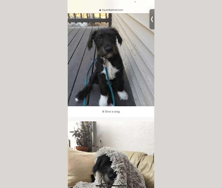 Photo of Oscar, an American Pit Bull Terrier, American Bulldog, Labrador Retriever, Catahoula Leopard Dog, and Chihuahua mix in Memphis, Tennessee, USA