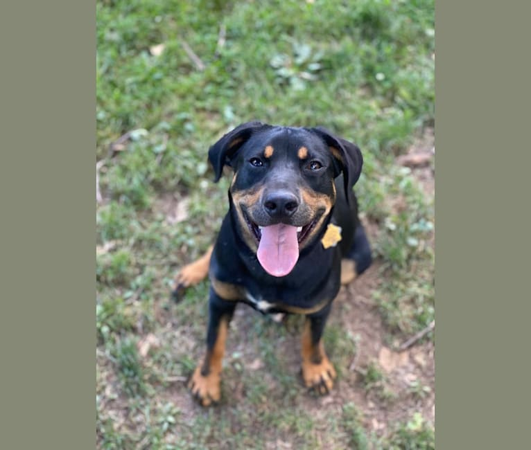 Photo of Arlo, a Labrador Retriever, Pointer, American Pit Bull Terrier, Black and Tan Coonhound, and Beagle mix in South Bend, Indiana, USA