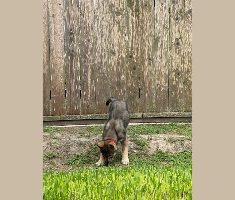 Photo of Ace, a   in Silsbee, TX, USA