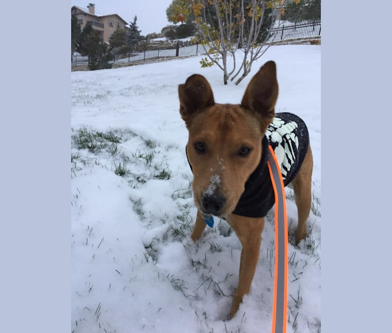 Photo of Castle, an American Pit Bull Terrier, German Shepherd Dog, Australian Cattle Dog, and Mixed mix in Gallup, New Mexico, USA