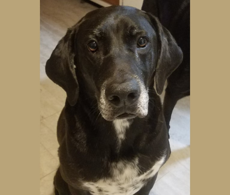 Photo of Happy, a Labrador Retriever, Bluetick Coonhound, and Treeing Walker Coonhound mix in Waco, Texas, USA