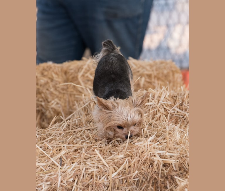 Photo of Bea, a Yorkshire Terrier