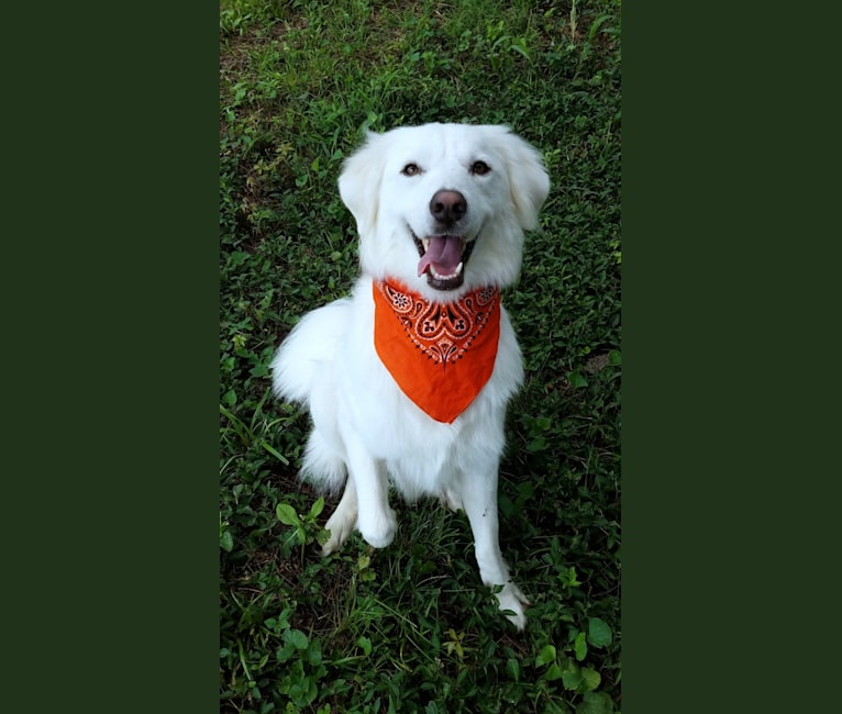 Photo of Luca, a Great Pyrenees and Pomeranian mix in Collin County, TX, USA