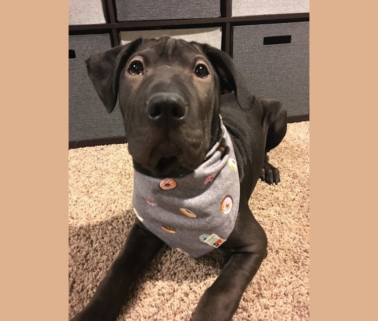 Photo of Enoki, an American Pit Bull Terrier, Chinese Shar-Pei, Chow Chow, Labrador Retriever, Australian Cattle Dog, and Mixed mix in Wisconsin, USA