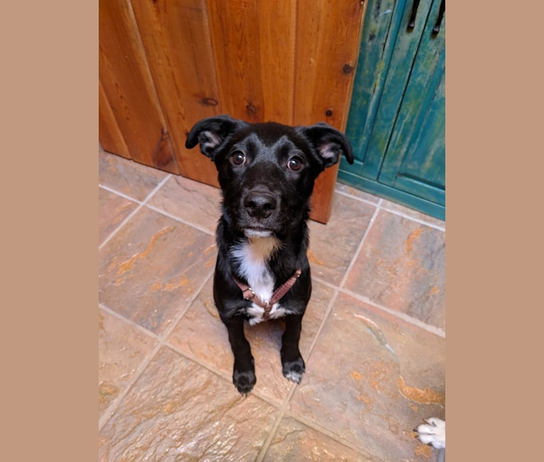 Photo of Kora, a Rottweiler, American Pit Bull Terrier, and Mixed mix