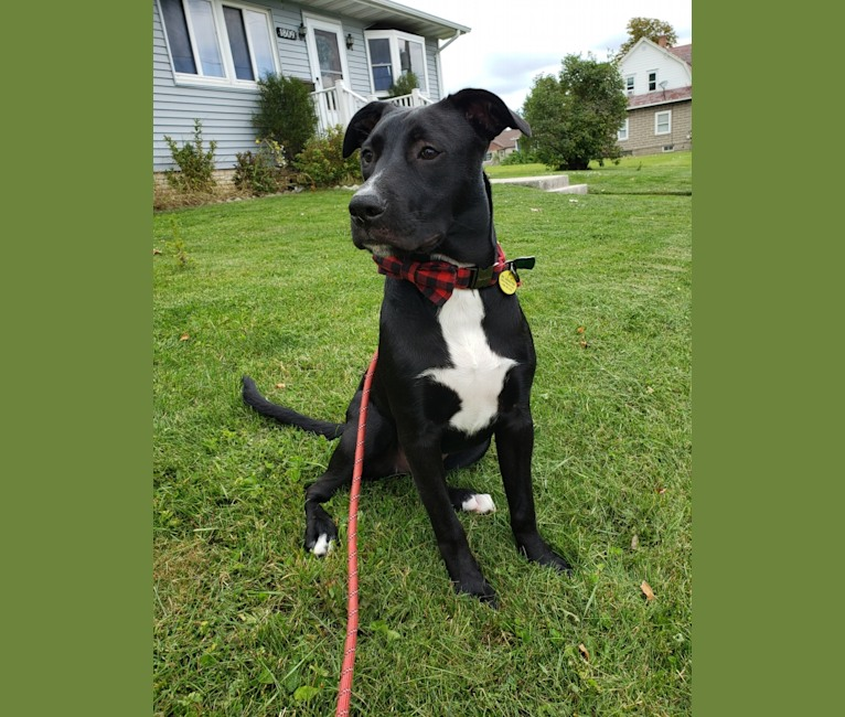 Photo of Finn, an American Bully, Labrador Retriever, and Great Pyrenees mix in Alabama, USA