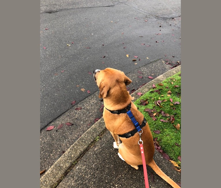 Photo of Sully, an American Pit Bull Terrier, Treeing Walker Coonhound, American Staffordshire Terrier, Bloodhound, and Bluetick Coonhound mix in Vancouver, British Columbia, Canada