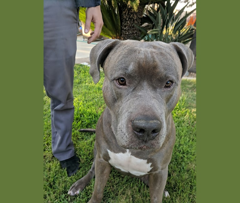 Photo of Left Brain, an American Bully and American Bulldog mix