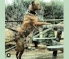 Photo of Bruno, an American Pit Bull Terrier, Bullmastiff, American Bulldog, and Siberian Husky mix in Lewiston, Maine, USA