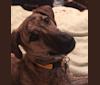 Photo of Free, a Doberman Pinscher, American Pit Bull Terrier, Labrador Retriever, and German Shepherd Dog mix in Edison, New Jersey, USA