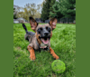 Photo of Afton, an Australian Cattle Dog and Chihuahua mix in Laredo, Texas, USA