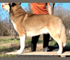 Photo of Kai, a Shetland Sheepdog and Siberian Husky mix in Spencer, IN, USA