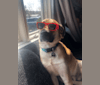 Photo of Loki, a Golden Retriever, American Bulldog, Siberian Husky, Labrador Retriever, Chinese Shar-Pei, and Mixed mix in Madison, Wisconsin, USA