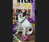 Photo of Atlas, a Chihuahua, Shih Tzu, Miniature/MAS-type Australian Shepherd, and Mixed mix