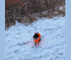 Photo of Kovu, a Pomeranian, Chihuahua, Miniature Pinscher, Yorkshire Terrier, and Poodle (Small) mix in Waterford, New York, USA