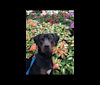 Photo of Sampson, a Catahoula Leopard Dog  in Guthrie, OK, USA