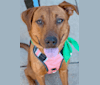 Photo of Kona, an American Pit Bull Terrier, Boxer, Chow Chow, and Great Pyrenees mix in South Carolina, USA