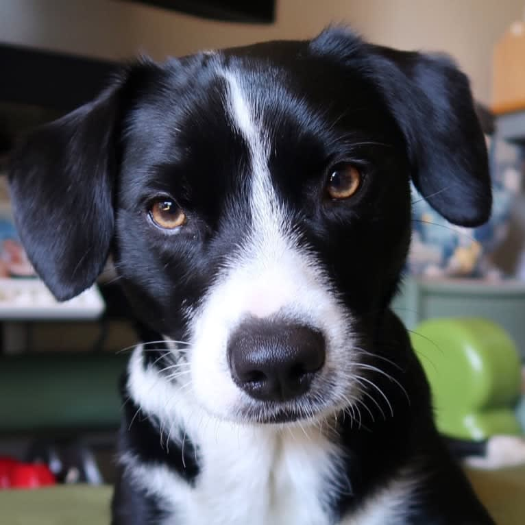 Photo of Jet, a Border Collie, Miniature Pinscher, Chihuahua, and Mixed mix in Santa Cruz, California, USA