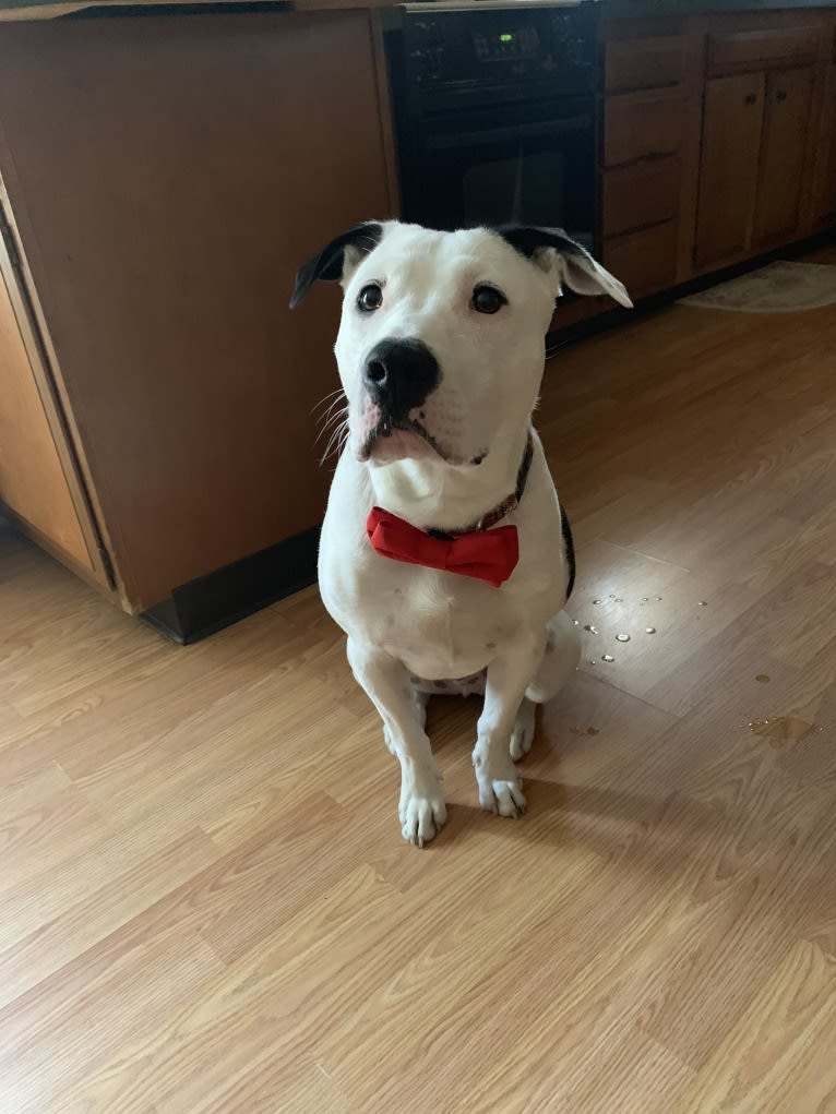 Photo of Kai, an American Pit Bull Terrier, American Staffordshire Terrier, and Labrador Retriever mix in Tennessee, USA
