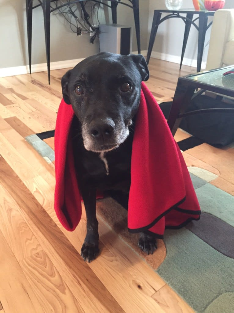 Photo of Zef, an American Pit Bull Terrier, Labrador Retriever, and Border Collie mix