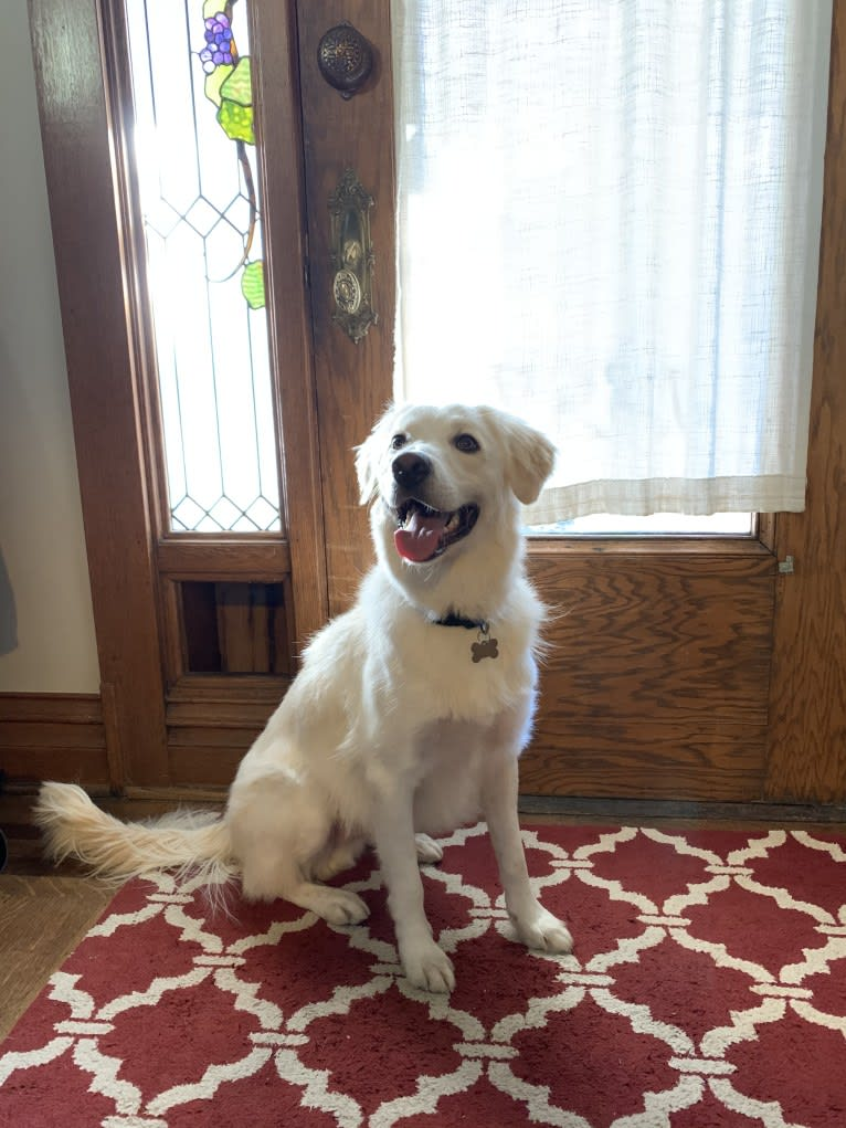 Photo of Falkor, an Australian Shepherd, Border Collie, Great Pyrenees, and Mixed mix in Denver, Colorado, USA