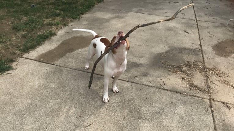 Photo of Prince, an American Pit Bull Terrier  in Omaha, Nebraska, USA
