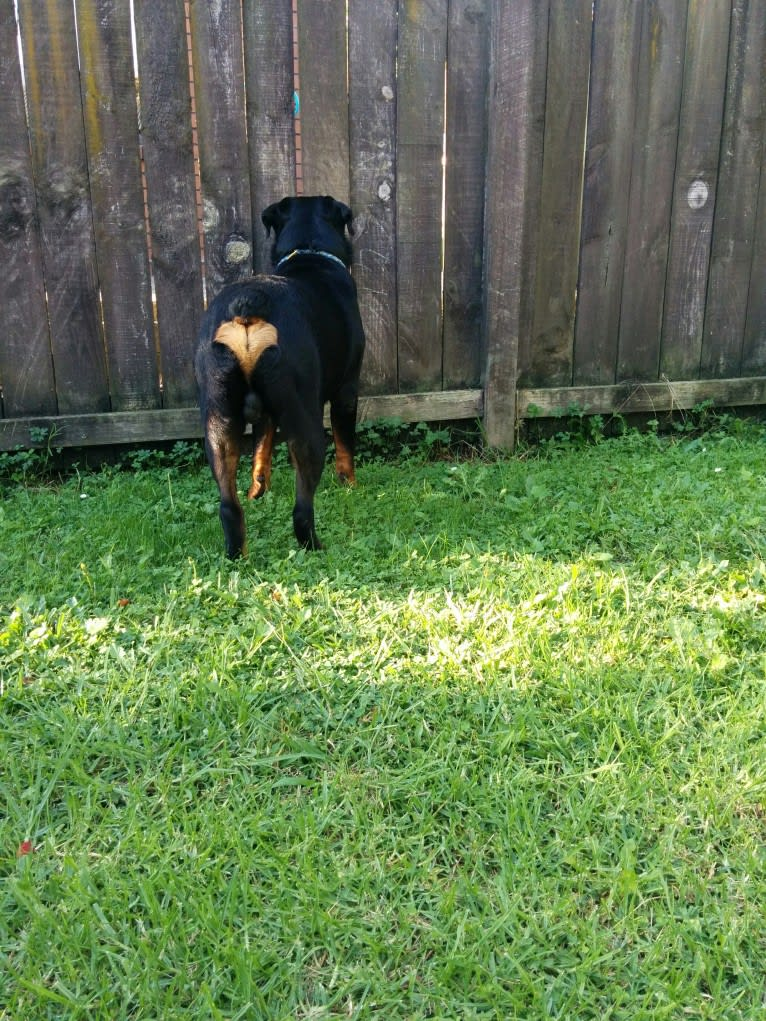 Photo of Marlo, a Rottweiler  in Auckland, Auckland, New Zealand