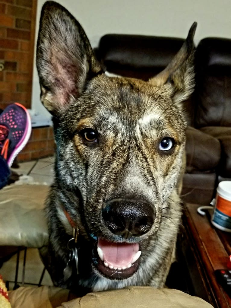 Photo of Rheagal Jr (RJ), a German Shepherd Dog, Siberian Husky, and Australian Cattle Dog mix in Tecumseh, Oklahoma, USA