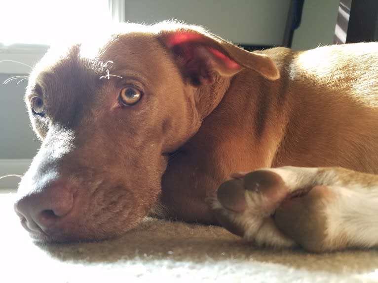 Photo of Bowie, an American Pit Bull Terrier, American Bulldog, American Staffordshire Terrier, Collie, and Mixed mix in Charleston, South Carolina, USA