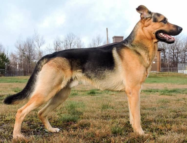Photo of Grizzly, a German Shepherd Dog, Rottweiler, and Siberian Husky mix in Little Current, Ontario, Canada