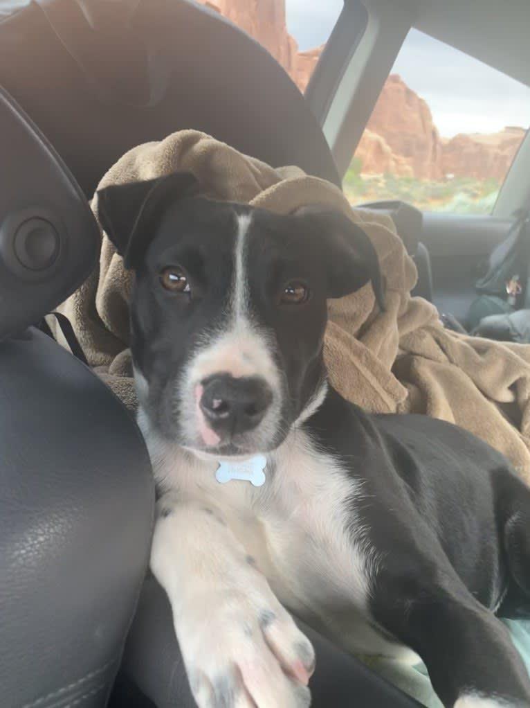 Photo of Rufus, an American Staffordshire Terrier, Australian Cattle Dog, Bulldog, Boxer, and Mixed mix in Atlanta, Georgia, USA