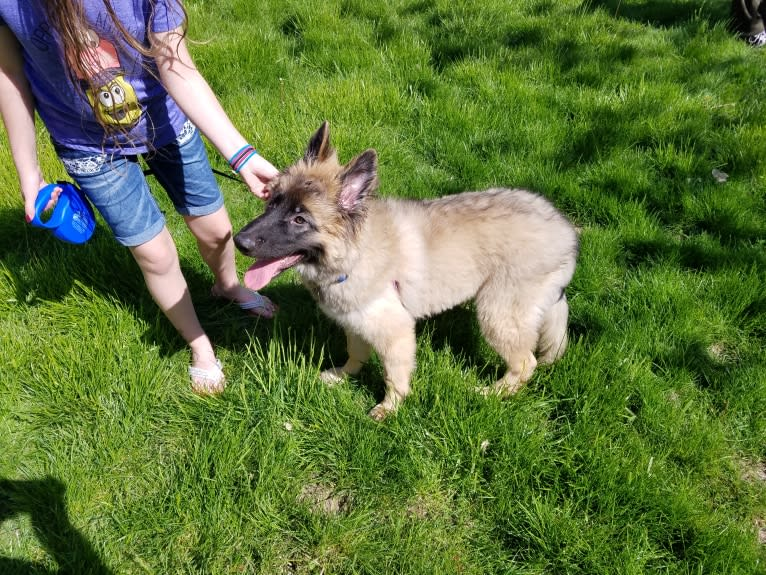 Photo of Samson, a German Shepherd Dog and Belgian Malinois mix in Norfolk, NE, USA