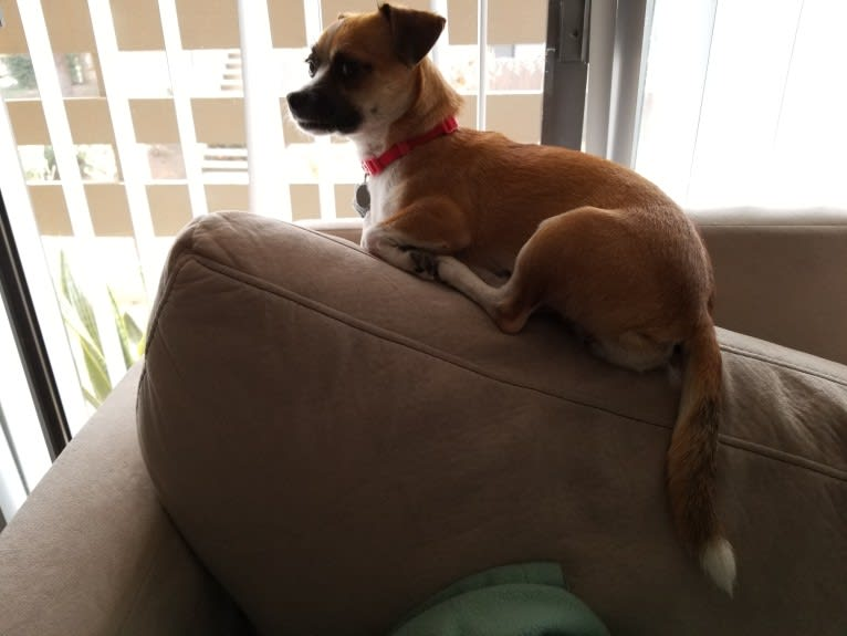 Photo of Gutter, a Chihuahua, Poodle (Small), and Mixed mix in Redlands, California, USA