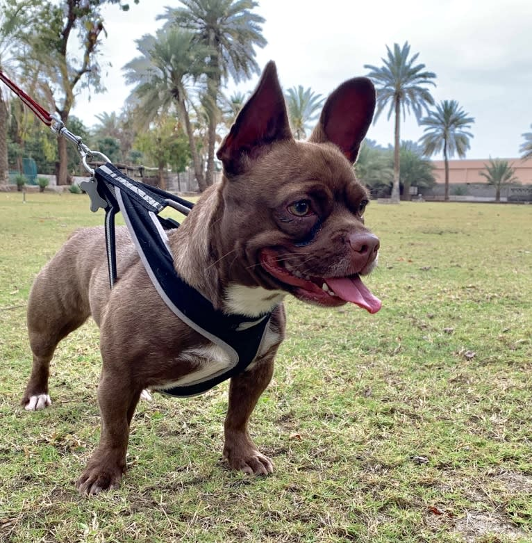 Photo of Kiki, a French Bulldog, Chihuahua, Pekingese, and Mixed mix
