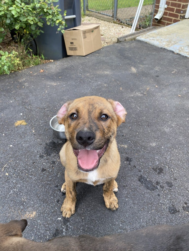 Photo of Bruno, an American Pit Bull Terrier, Golden Retriever, Chow Chow, and American Staffordshire Terrier mix in Virginia, USA