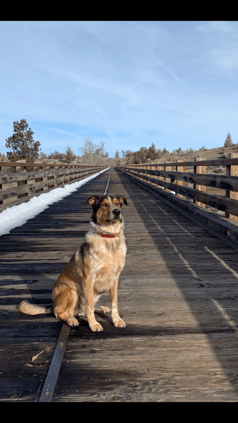 Photo of Frankie, an Australian Cattle Dog, German Shepherd Dog, and Border Collie mix in Dallas, TX, USA